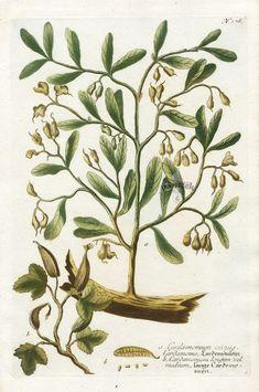 1. Cardamomum minus  2. Cardamomum longum - Johann Weinmann Botanical Prints 1737 Vintage Botanical Prints, Botanical Drawings, Antique Prints, Botanical Illustration, Illustrations, Antiques, Flowers, Shabby, Fragrance