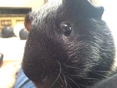 My cousin's guinea ♡