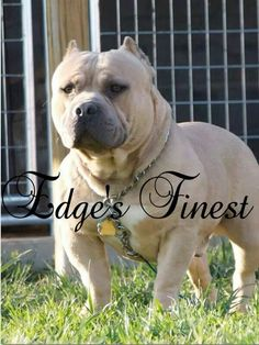 American bully Rosco from Get it Boy kennels #bully dogs #bully dog Breeds #Love #animals #pitbulls #americanbully