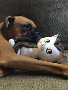 The life and love of Chief the Boxer Napping with my kitty