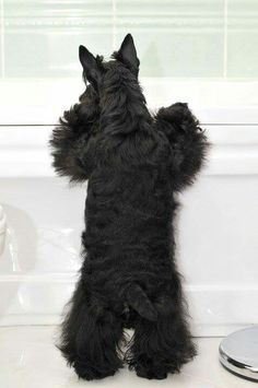 Kasi did this all the time. Scotties are always looking out! - 😭 reminds me of the Scottie I had 😢 Cute Puppies, Cute Dogs, Dogs And Puppies, Doggies, Scottish Terrier Puppy, Terrier Dogs, Cutest Dog Ever, Baby Dogs, Little Dogs