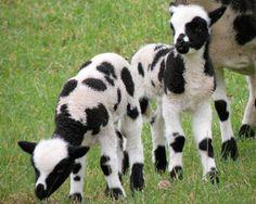Jacob sheep lambs- I need them!