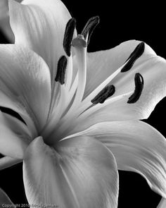 Black and White Tiger Lilly  8x10 Black and White Fine Art Photograph
