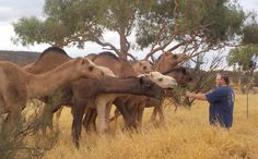 Feeding the camels, Stuart Wells, NT Australia Camels, Personal Photo, Wells, Elephant, Australia, Animals, Animaux, Animal, Animales