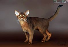 Abyssinian Cat Rescue Florida