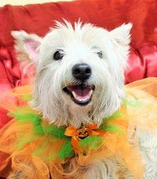 Cute Muttville mutt: Joey 2654 (West highland terrier | Female | Size: small (6-20 lbs))