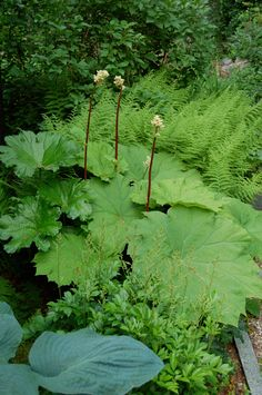 Astilboides tabularis (Shield-leaf Rodgersia) with hostas, ferns and astilbe.