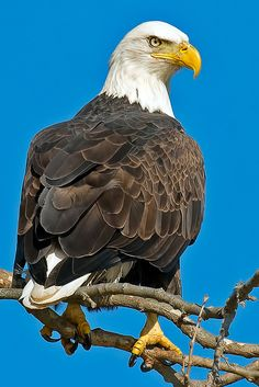 Bald Eagle by Brian E Kushner Eagle Images, Eagle Pictures, Bird Pictures, Animal Pictures, Cute Pictures, Nature Animals, Animals And Pets, Cute Animals, Eagle Nest
