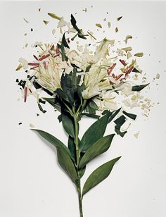 In his Broken Flower series photographer Jon Shireman soaked various kinds of flowers in a liquid nitrogen bath for up to 30 minutes before using a special spring-loaded contraption to slam them against a surface at high speed. He then photographed the hundreds of fragments spread across a white sur