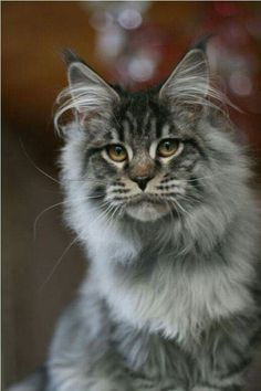>^..^<   Maine Coon
