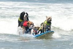 Surfing Dogs!? Try it out Today ! http://talenthounds.ca/health/surfing-dogs/