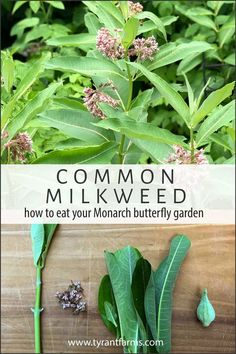 Find out how to grow and use Common milkweed (Asclepias syriaca) as an edible plant for you AND as a host plant for Monarch butterflies. #TyrantFarms #CommonMilkweed #EdibleMilkweed #SaveTheMonarchs #Foraging #ButterflyGarden Butterfly Weed, Monarch Butterfly, Butterflies, Milkweed Plant, Plant Identification, Flower Food, Edible Plants, Garden Care, Farm Gardens