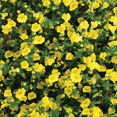 Mecardonia hybrid. Small green leaves are covered with yellow nemesia-like flowers from May through October, excellent heat tolerance