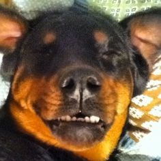 Too funny of a Rottweiler !