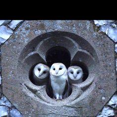 Hedwig ja kamut?