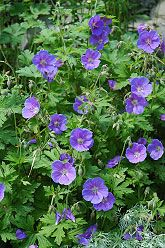 johnson's blue cranesbill 2x2 feet  Potting or next to shrubs, flowers late spring to early summer