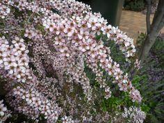 Leptospermum 'Pink Cascade' H x W Backyard Plants, Garden Landscaping, Garden On A Hill, Buy Plants, Garden Trees, Tea Tree, Garden Inspiration, Castle, Landscape