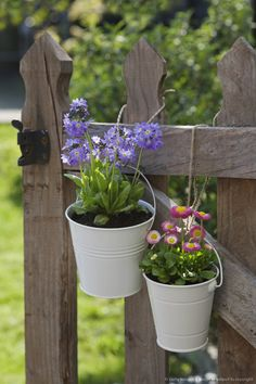 Image detail for -Primrose (Primula denticulata) and Daisy (Bellis perennis) in white pots, hanging from a wooden garden gate, focus on foreground, close-up, UK