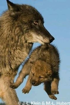 Mama wolf and her baby