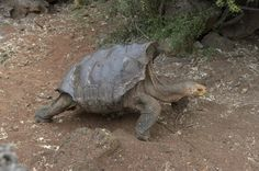 With 800 offspring, 'very sexually active' tortoise saves species from extinction - The Washington Post
