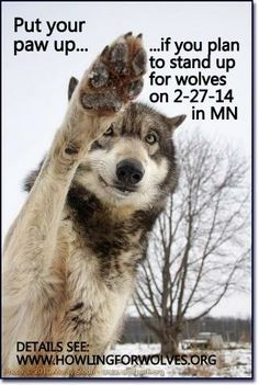 Join us for Wolf Day at the Minnesota State Capitol on 2/27! www.howlingforwolves.org