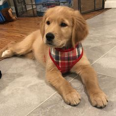 All the things we all admire about the Devoted Golden Retriever Dogs Golden Retrievers, Dogs Golden Retriever, Retriever Puppy, Cute Dogs And Puppies, Baby Dogs, I Love Dogs, Doggies, Puppy Care, Pet Puppy