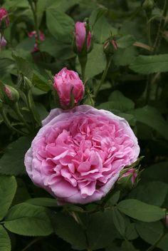 ~Portland Rose: Rosa 'Comte de Chambord' (France, before 1858)