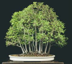The Art of Bonsai Project - Feature Gallery: The Bonsai of William N. Valavanis