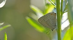Suomen Perhoset Tamminopsasiipi » Suomen Perhoset