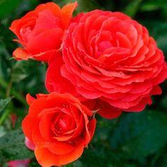 die besten 25 rosen im topf ideen auf pinterest beetpflanzen au entopfpflanzen und gartenbeete. Black Bedroom Furniture Sets. Home Design Ideas