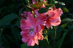 Queen Elisabeth – ruusu   Vesan viherpiperryskuvat – puutarha kukkii