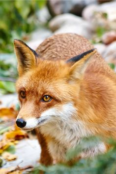 Red Fox by Raimundas