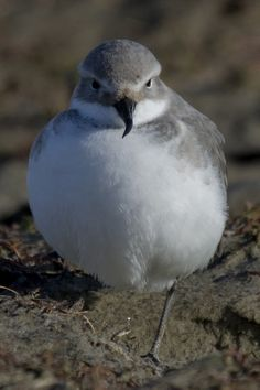 Wrybill, New Zealand. This is the only bird to have a beak that is curved, and always to the right. This is to help it access its food under rocks. World Birds, In The Zoo, Animal 2, Reptiles And Amphibians, Bird Pictures, Sea Birds, Colorful Birds, Bird Watching, Bird Feathers