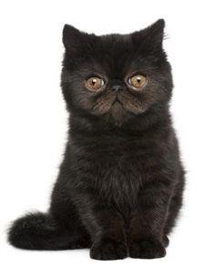 Dwarf Cat | 136549-311x386-dwarf-cat.jpg