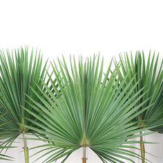 Palms |