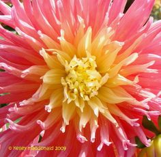 View picture of Cactus Dahlia 'Alfred Grille' (Dahlia) at Dave's Garden. All pictures are contributed by our community.