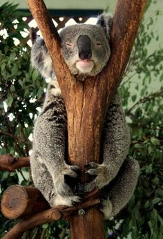 Koala Bear is Australia's mascot. Sadly they're in danger of extinction.