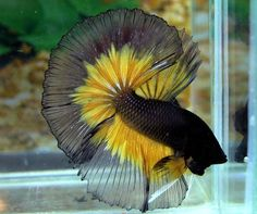 Peixe Betta Preto e Amarelo