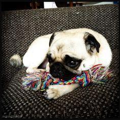 pug-inu:    Just me and my favourite toy thinkin' 'bout stuff.