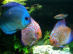 Love myturquoise and #pigeonblood  #Discus fish. So gorgeous in