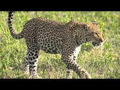 Leopard (Panthera pardus) making its' way through a patch of open grassland, Sabi Sand Game Reserve, South Africa © Scotch Macaskill. Savanna Biome, Savanna Grassland, Grassland Biome, Grassland Habitat, Panthera Pardus, Animal Adaptations, History Activities, Animal Habitats, Game Reserve