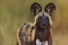 African Wild Dog (Lycaon pictus) by Clive Wright via 500px