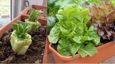 Stop Buying Lettuce, 12 Tips To Grow Your Own Endless Supply Growing Lettuce, Growing Veggies, Growing Plants, Regrow Green Onions, Green Lettuce, Comment Planter, Inside Garden, Home Vegetable Garden, Nutrition