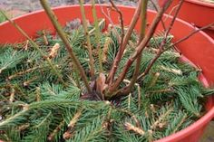 Blueberries; Mulch with acidic organic material in late winter – Christmas tree clippings are ideal!