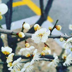 【bluechip_sw】さんのInstagramをピンしています。 《아직 겨울인데 봄매화.  まだ 寒いけど..梅の花。 . . . #봄#매화#spring#plants #flower#winter#white #color#꽃#春#花#梅 #写真#bloom#garden #blossom#白い#色#庭 #カメラ#pic#travel #photography#camera #weather#森#forest #view#green#korea》