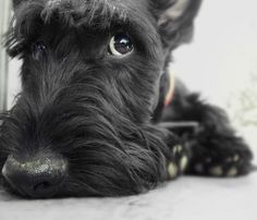 Gavin the Scottish Terrier