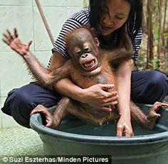 """No!  I don't want a baff!""  Orangutan caretaker with infant at bath time, Orangutan Care Center, Borneo, Indonesia"