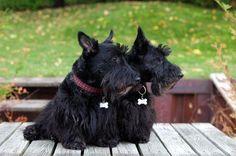 Two darling Scottie dogs.