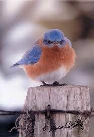 Mad Bluebird...he's so cute!