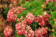 Pink ribes sanguineum at New Covent GArden Flower Market - April 2014